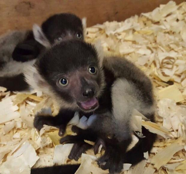 Ruffed lemurs are different from other lemur species as their babies don't cling to the mother pictured in the nest in first weeks.
