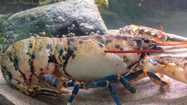 The white lobster caught near Achill