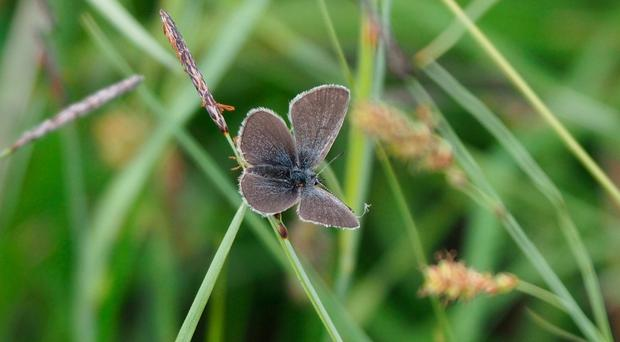 Rare: the Small Blue butterfly