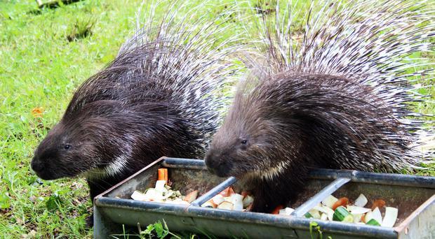 Belfast Zoo has welcomed some prickly new arrivals.