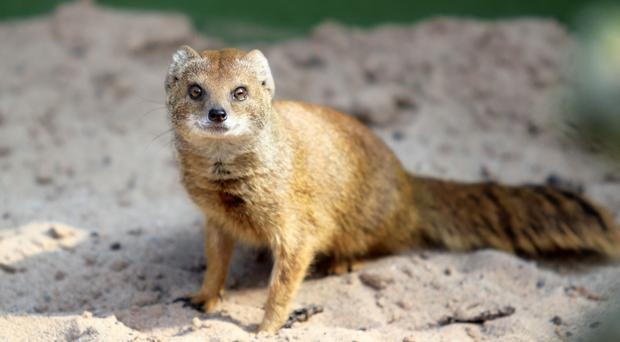 Belfast Zoo has recently become home to a brother and sister pair of yellow mongoose.