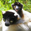 Belfast Zoo welcomes the arrival of a crowned sifaka baby.