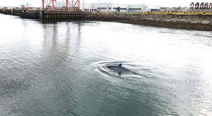 Minke whale pictured today in Belfast Harbour.