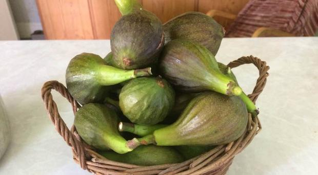 Harvest time: figs from the garden of Frances' dad
