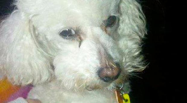 Benji the poodle was attacked by other dogs in the Kilwilkie estate
