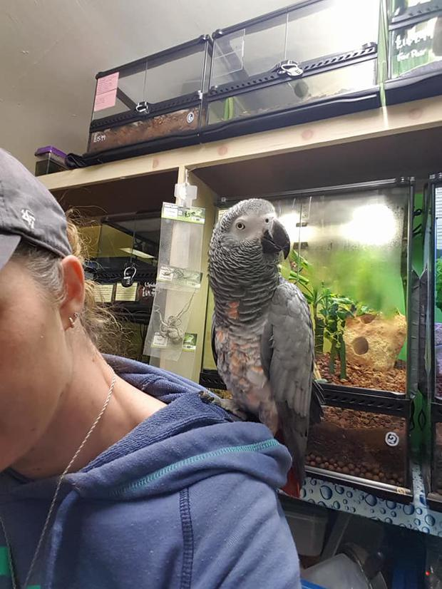 The African Grey Parrot which has been stolen