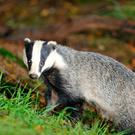 Badgers are a protected species and it is an offence to harm them