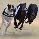 Surprise Pup put his stamp on Drumbo Park's Robert Connolly Memorial Tri-Distance with an impressive display in Saturday night's first semi-final over 550 yards. (stock photo)