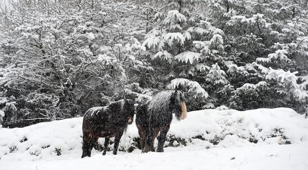 Horses as Snow falls near Divis on the outskirts of West Belfast in Co Antrim on Tuesday , as heavy snow falls across the country. Pic Colm Lenaghan/Pacemaker