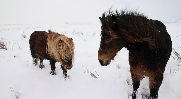 A pair of Shetland ponies braves the snow in the Sperrin mountains today. / Credit: Stephen Davison/ Pacemaker