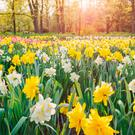 Worthy words: a host of golden daffodils in spring