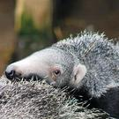 Belfast Zoo welcomes a new arrival - a giant anteater baby.