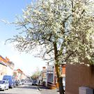 Cherry blossom tree in Great Northern street off the Lisburn Road / Credit: Peter Morrison