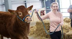 Tara O'Brien brings her pedigree Limousin breed into the pens for the start of the Balmoral show