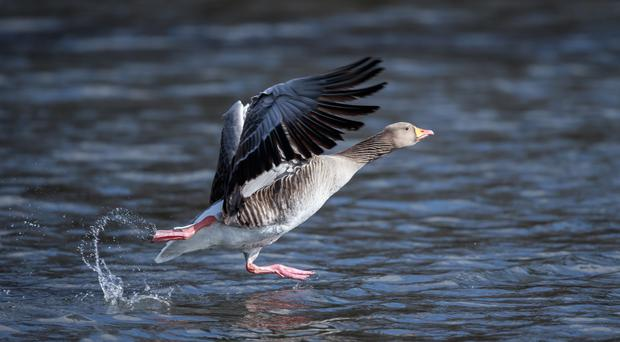 The ancestor of most domestic geese, the greylag is the largest and bulkiest of the wild geese native to the UK and Europe (Getty Images/iStockphoto)
