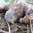 The female red kite was found dead in her nest.