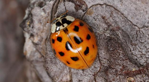 A Harlequin ladybird / Credit: Creative Commons
