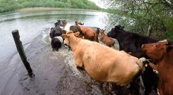 Cattle getting ready to cross Lough Erne