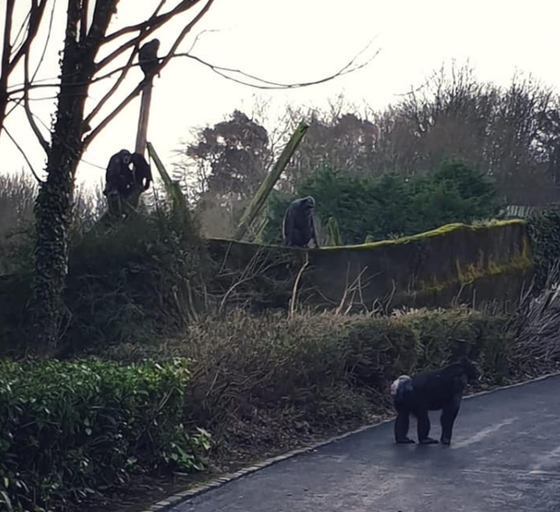 Chimps use branch to make ladder to escape Belfast Zoo