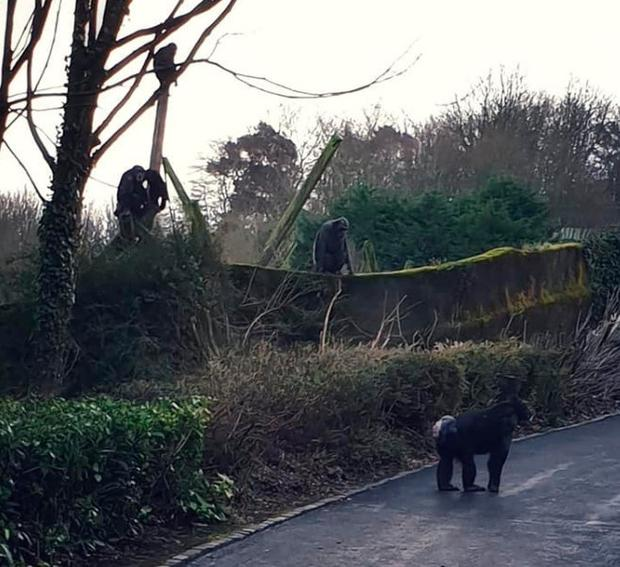 Watch: Chimpanzees build makeshift ladder to escape enclosure at Belfast Zoo Chimpanzees escaped from their enclosure at Belfast Zoo. Credit: Chantal Baxter.