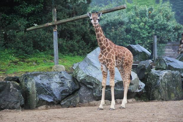 Special report: Three giraffes were among the animals which died at Belfast zoo in 2018.
