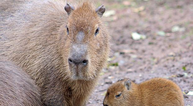 Among the dead was a capybara, the largest rodent in the world, which passed away not long after being born.