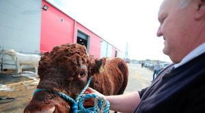 Ernest Gregg from Ballybollem Pedigree Livestock farm in Randalstown, Co Antrim, with his two-year-old bull Moore at Balmoral Park outside Lisburn