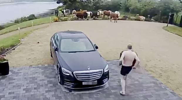 A half-naked Stephen Nolan chases the cows after they came to his patio window yesterday