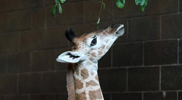 George the giraffe. Credit: Belfast Zoo