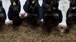 It has been reported 45,000 dairy cows could be culled in the event of a no-deal Brexit