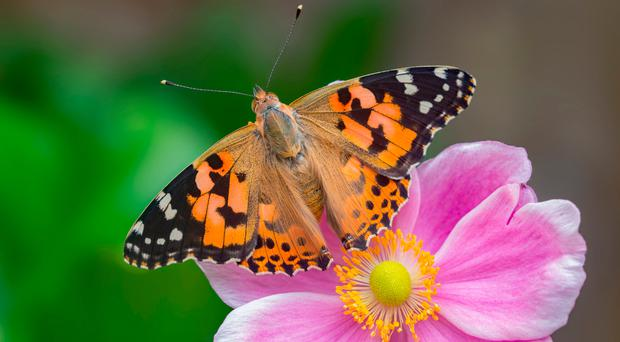 Sightings of the Painted Lady butterfly increased this year