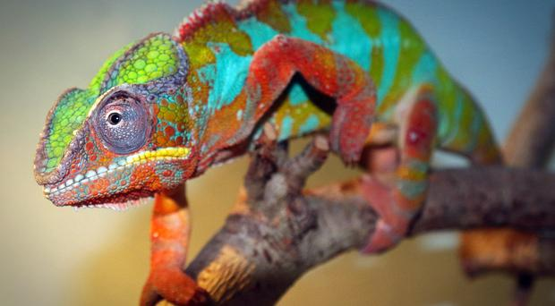 Category A - highly commended - Panther chameleon by Malcolm Moorehead