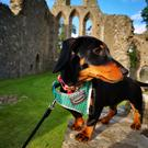 Direwolf in training - Kuna at Inch Abbey, a Game of Thrones filming location, training to be a direwolf.