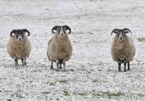 Livestock in the Tildarg road area of Kells as the snow starts to lie. Pic. Stephen Hamilton / Press Eye. December 8, 2014