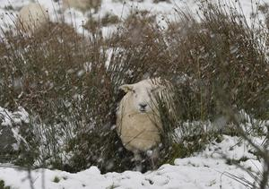 A young sheep finds a bit of shelter in among the rushes. Livestock in the Tildarg road area of Kells as the snow starts to lie. Pic. Stephen Hamilton / Press Eye.  December 8 2014