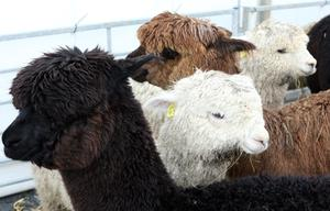 @Press Eye Ltd Northern Ireland- 14th   May   2014 Mandatory Credit -Brian Little/PresseyE Alpacas  at the Balmoral Show at the Maze/Longkesh  Picture by  Brian Little/Presseye
