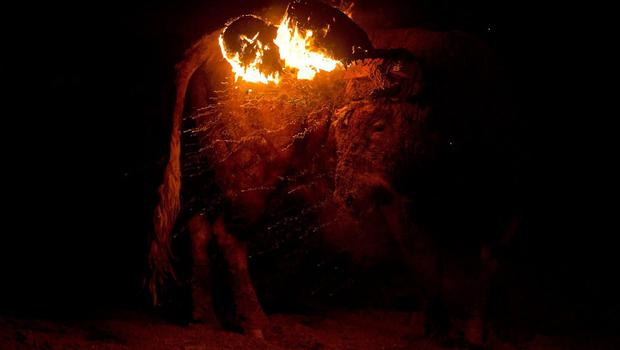 A bull with flammable balls attached to it's horns turns around during the 'Toro de Jubilo' fire bull festival on November 16, 2014 in Medinaceli, Spain. Toro de Jubilo, a Fire Bull festival, is an ancient tradition held annually at midnight in the Spanish town of Medinaceli. The event starts when flammable balls attached to a bull,s horns are set alight. The animal is then untied and revellers dodge it until the flammable material is consumed. The body of the animal is covered with mud to protect it from burns.  (Photo by Gonzalo Arroyo Moreno/Getty Images)