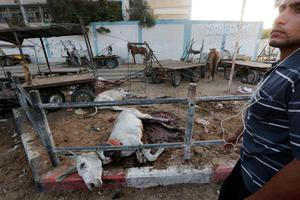 Palestinians look at donkeys killed and wounded, by an Israeli strike earlier, at and around the adjacent Abu Hussein U.N. school, seen background, in Jebaliya refugee camp, northern Gaza Strip, Wednesday, July 30, 2014. (AP Photo/Lefteris Pitarakis)