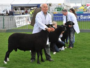 NO FEE  Press Eye - Belfast - Northern Ireland 14th May 2014 -  First day of the Balmoral Show in partnership with Ulster Bank at Balmoral Park. Pictured is Cyril Crommie from Ballynahinch showing his  Zwartbles sheep. Ulster Bank has been involved in the Balmoral Show for many years, and 2014 is its sixth year as principal sponsor.   The 2014 Balmoral Show in partnership with Ulster Bank, takes place between today and Friday at Balmoral Park.  To find out more about the programme of events, visit www.balmoralshow.co.uk.<http://www.balmoralshow.co.uk./> Picture by Stephen Hamilton / Press Eye.