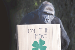 Namoki inspects a box of goodies during her goodbye party as she prepares to leave Bristol for Belfast Zoo