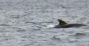 Handout photo issued by the RNLI of Heather Clatworthy alongside a dolphin during her 13 mile swim from Stroove in Co Donegal to Portstewart in Northern Ireland. PA