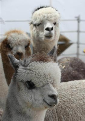 PressEye-Northern Ireland- 15th May  2019-Picture by Brian Little/PressEye  Alpacas  at Balmoral Park during the first day of the Balmoral Show 2019 Picture by Brian Little/PressEye