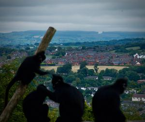 CATEGORY F highly commended - Francois langur and Belfast views by Tim Turner