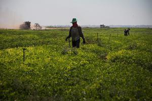 A man works in the fields near the Israeli-Gaza border on July 23, 2014 near Kfar Aza, Israel.  (Photo by Andrew Burton/Getty Images)