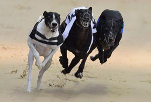 Kentish Dream set the standard in the second semi-final of the A3 dual-distance at Drumbo Park with a notable time of 28.99 seconds (525) and is likely to start a warm favourite for next Saturday's decider over 550 (stock photo)
