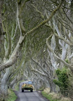 Trees fallen at the Dark Hedges after Storm Gertrude hit Northern Ireland. The trees made famous by Game of Thrones, collapsed onto the Bregagh Road near Armoy. Photo Colm Lenaghan/Pacemaker