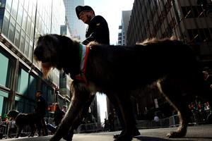 NEW YORK, NY - MARCH 17:  An Irish Wolfhound walks in the St. Patrick's Day parade, one of the largest and oldest in the world on March 17, 2016 in New York City. Now that a ban on openly gay groups has been dropped, New York Mayor Bill de Blasio is attending the parade for the first time since he became mayor in 2014. The parade goes up Fifth Avenue ending at East 79th Street and will draw an estimated 2 million spectators along its 35-block stretch.  (Photo by Spencer Platt/Getty Images)