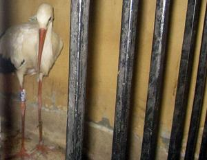 A migrating stork is held in a police station after a citizen suspected it of being a spy and brought it to the authorities in the Qena governorate