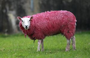 A pink sheep stands in a field in Ballintoy, Northern Ireland, Tuesday, May, 6, 2014 in preparation for the Giro d'Italia. Many towns and villages across Ireland have been going pink in preparation for the Giro d'Italia  (AP Photo/Peter Morrison)