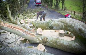 Trees at the Dark Hedges, the now-famous Game of Thrones film location, have been uprooted by Storm Gertrude. 2016 (Photo by Kevin Scott )